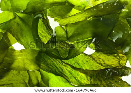 wet seaweed kelp ( laminaria ) surface close up macro shot texture background - stock photo