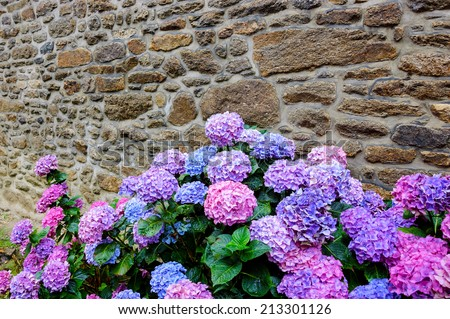 Wet violet, pink and blue hydrangea flowers with rain drops on the petals and green leaves near the old farm house wall. Brittany, France. Vacation at countryside background. - stock photo