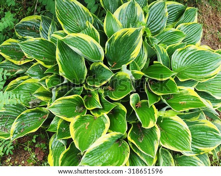 Wet yellow and white hosta plant with waterdrops in garden - stock photo