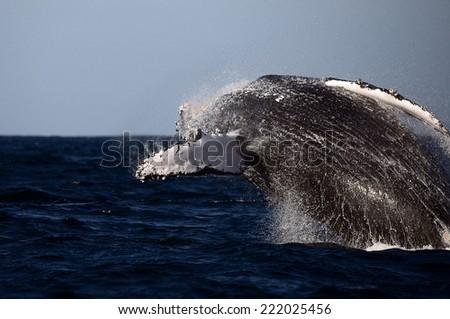 Whale breaching in Durban - stock photo