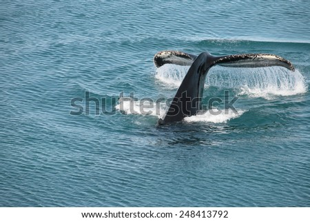 Whale dive in the Disko Bay near Ilulissat - stock photo