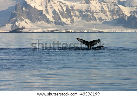 Whale fin and snowcapped landscape in Antarctica - stock photo