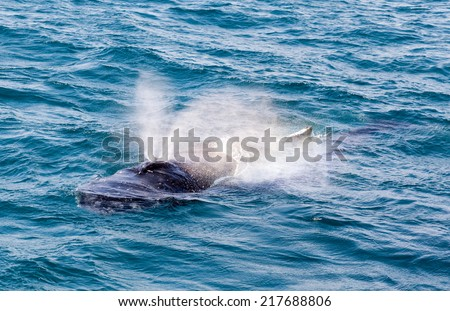 Whale in Hervey Bay Australia . Humpbacks migrate annually from summer feeding grounds near the poles to warmer winter breeding waters closer to the Equator.  - stock photo