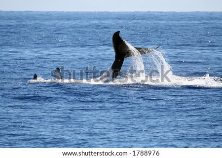 Whale playing on it's back, with tail out - stock photo