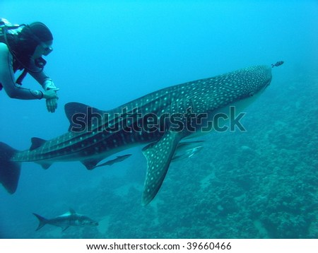 Whale shark and a scuba diver - stock photo