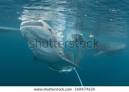 Whale Shark close up underwater with big enormous open mouth jaws