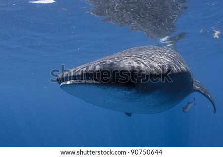 Whale shark coming close with a wide eye off mexico's baja peninsula