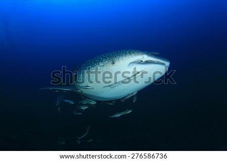 Whale Shark in ocean with remora fish - stock photo