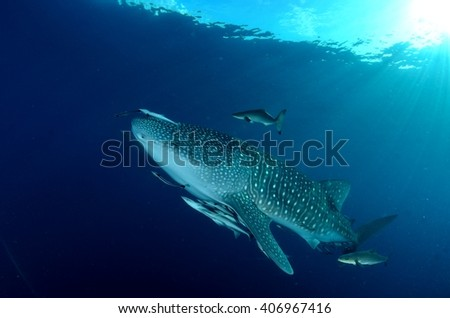Whale Shark peacefully cruising in Sail Rock, between the islands of Koh Tao and Koh Phangam in the Gulf of Thailand.
