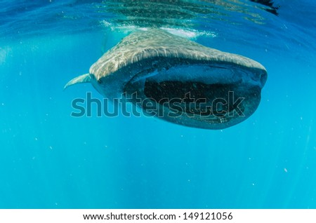 Whale Shark (rhincodon typus) - stock photo