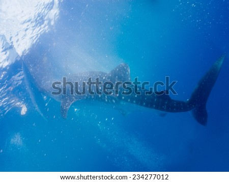 Whale shark (Rhincodon typus) is the largest known extant fish species - stock photo