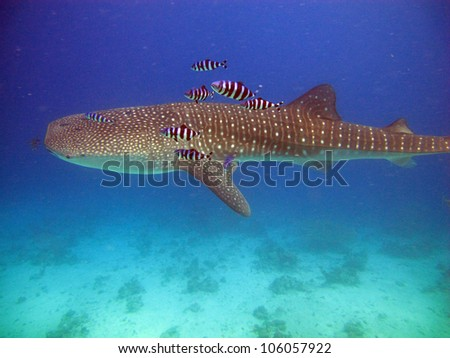 Whale shark (Rincodon typus) - stock photo