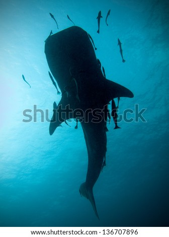 Whale shark silhouette, Koh Tao, Thailand. - stock photo