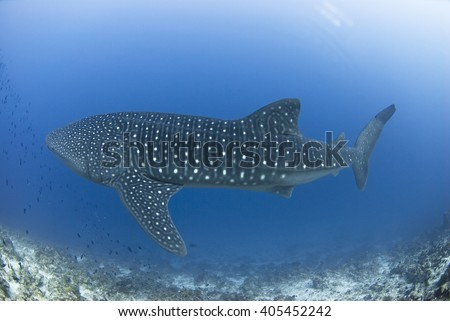 Whale shark swimming along a reef in clear blue water.