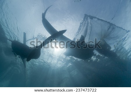 Whale Shark under fishermen platform in Papua Indonesia - stock photo