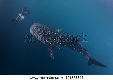 Whale Shark underwater approaching a scuba diver in the deep blue sea similar to attack but inoffensive - stock photo