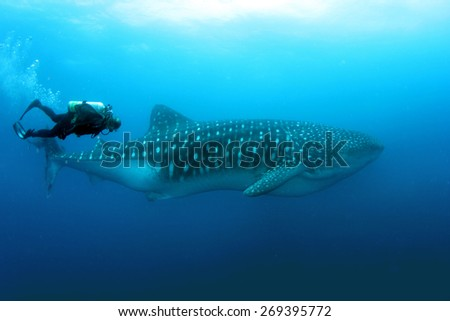 Whale Shark with a diver in Darwin and Wolf in Galapagos - stock photo