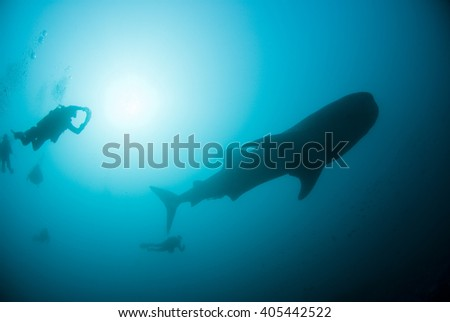 Whale shark with scuba divers and the sun in the background.