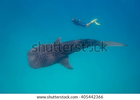 Whale shark with snorkeler in turquoise water. - stock photo