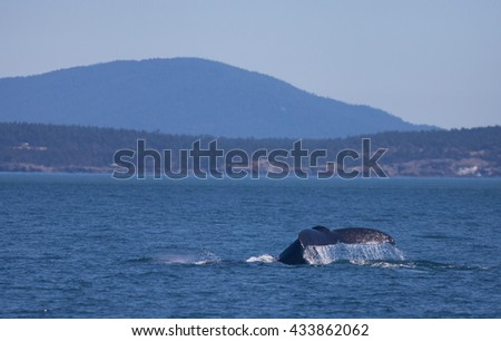 Whale tail in the Puget Sound - stock photo