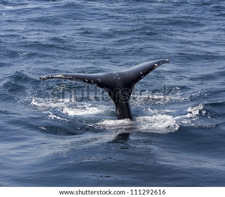 Whale tail, Queensland, Australia, whale jumped sea - stock photo