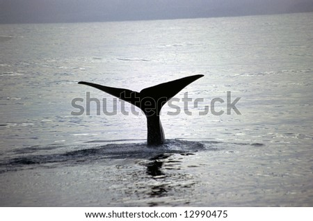 Whale taking a dive of the shores of Kaikoura New Zealand - stock photo