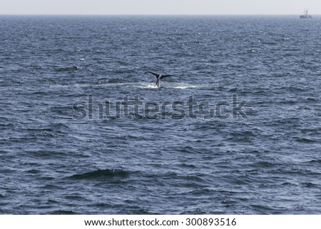 Whale watching experience off the coast of Atlantic. - stock photo
