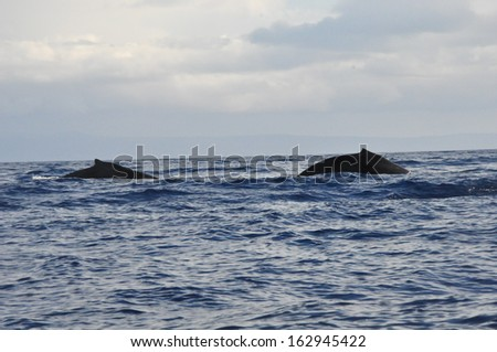 Whale Watching in Maui, Hawaii - stock photo