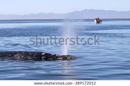 Whale watching in Ojo De Liebre Lagoon in Baja, California, Mexico - stock photo
