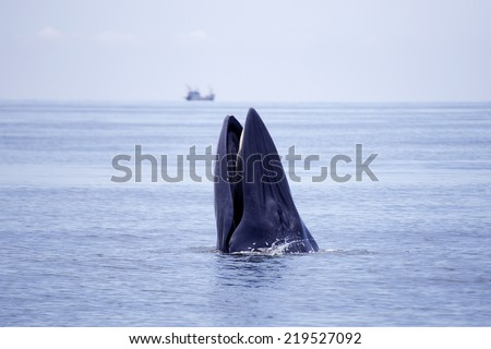 whales (Balaenoptera brydei) eating Anchovy fish in Gulf of Thailand