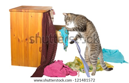 What is there really NOTHING to wear for me? - Curious tabby cat standing on its hind legs rummaging in a chest of drawers with clothing strewn around on the floor in disarray - stock photo