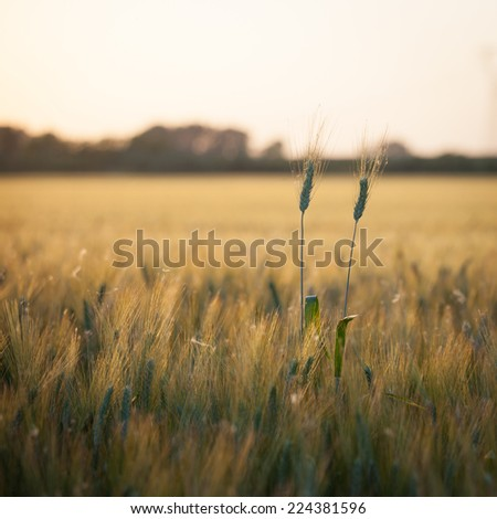 wheat. a cereal plant that is the most important kind grown in temperate countries, the grain of which is ground to make flour for bread, pasta, pastry, etc. - stock photo