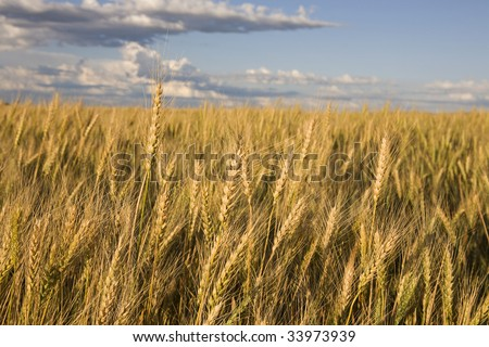 Wheat against a blue sky with clouds - stock photo