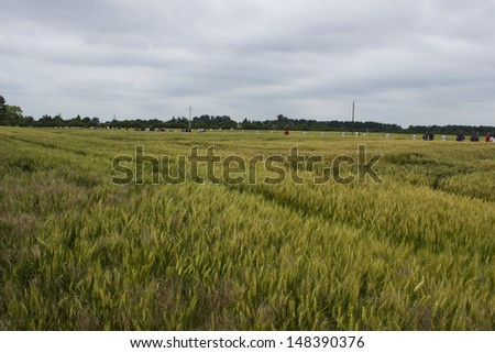 wheat and barley field - stock photo