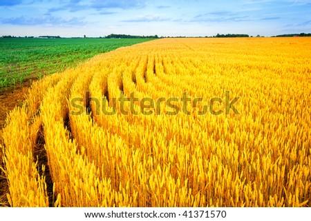 Wheat and corn - stock photo