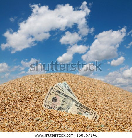 Wheat and Dollar banknote in closeup with blue sky in background - stock photo