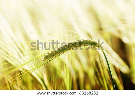 wheat and sunny day - stock photo
