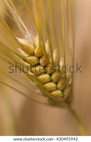 Wheat, Barley Close up, Shallow depth of field - stock photo