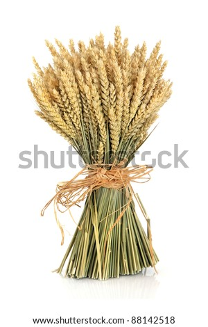 Wheat bundle tied with raffia isolated over white background.