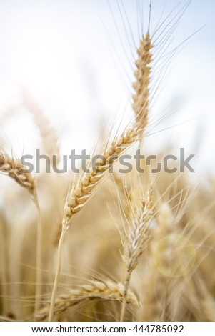 Wheat Cereal Farming Agriculture Season Food  Field