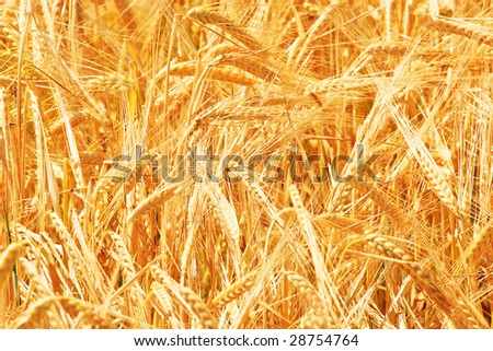 Wheat close up in sunny day on a field