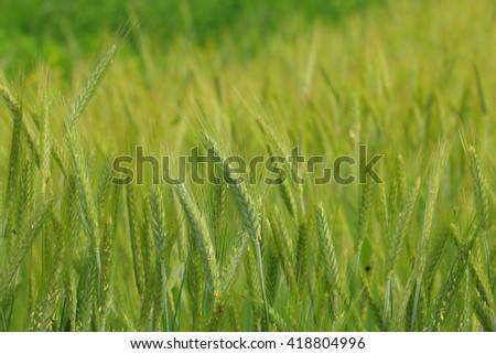 wheat ,closeup - stock photo