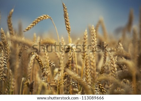 Wheat. Combine out of focus. - stock photo
