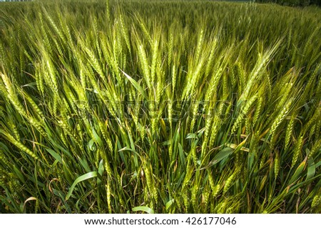 wheat, corn