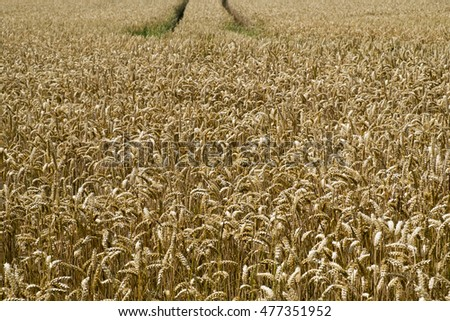 Wheat crop in August