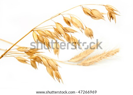 Wheat ear  and oats on white background