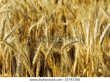 wheat ear close-up over a wheat field agricultural background