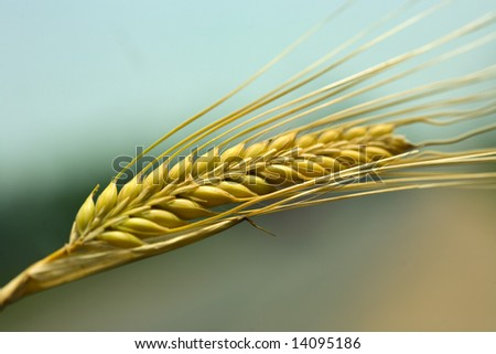 wheat ear closeup - stock photo