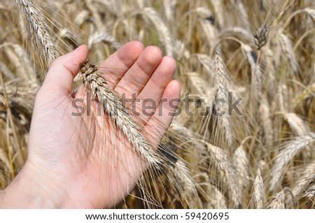 Wheat ear in the hand
