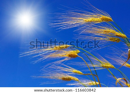 Wheat ears against the blue  sky - stock photo